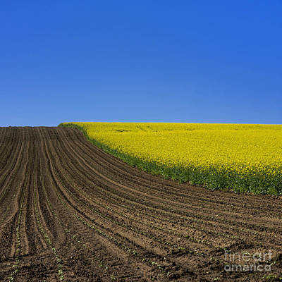 Sprouting Field Of Sunflowers And Field Of Rape. Auvergne. France. Europe Art Print