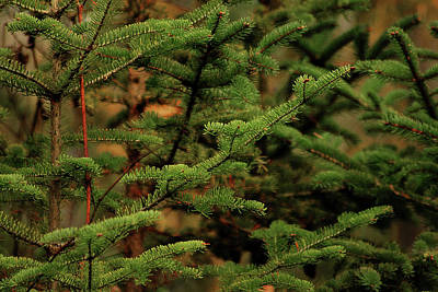 Photograph - Spruce by Scott Hovind