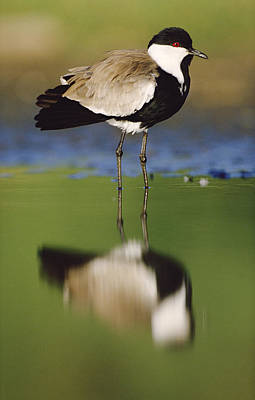 Lapwing Wall Art - Photograph - Spur Winged Plover With Its Reflection by Tim Fitzharris