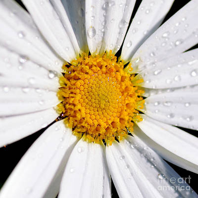 Photograph - Square Daisy - Close Up by Kaye Menner