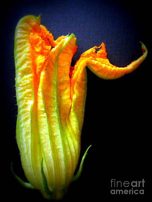Photograph - Squash Blossom by Maria Scarfone