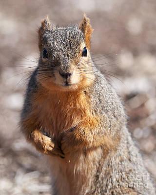 Squirrel Art Print by Art Whitton