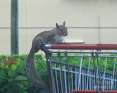 Photograph - Squirrel Going Shopping by Merton Allen