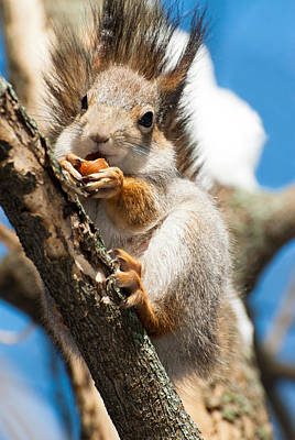 Pop Art Rights Managed Images - Squirrel Royalty-Free Image by Igor Sinitsyn