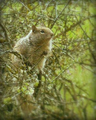 Photograph - Squirrel In Bush by Cindy Wright