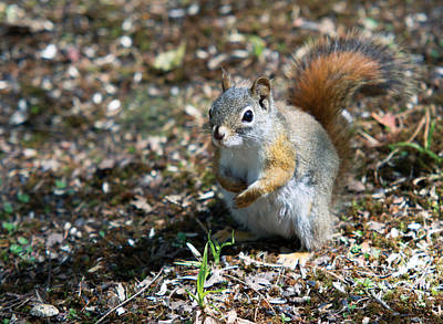 Photograph - Squirrel by Josef Pittner