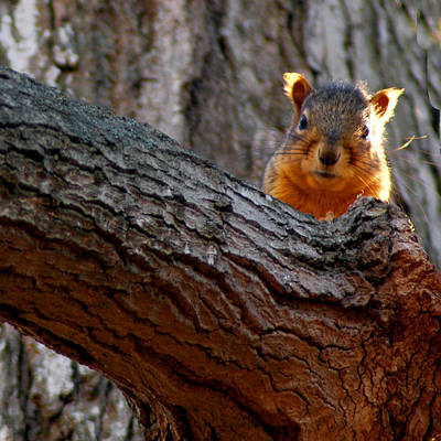 Squirrel Photograph - squirrel Last Stand by LeeAnn McLaneGoetz McLaneGoetzStudioLLCcom