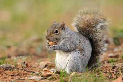 Y120831 Photograph - Squirrel by Marco Pozzi Photographer