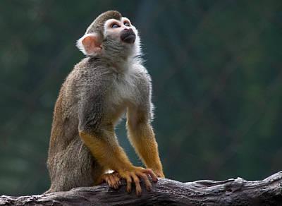 Squirrel Monkey Art Print by Cindy Haggerty