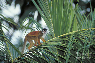Squirrel Monkey Print by Gregory G. Dimijian