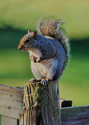 Chipmunk Photograph - Squirrel Posing On Fence Post Posing - C9243c by Paul Lyndon Phillips