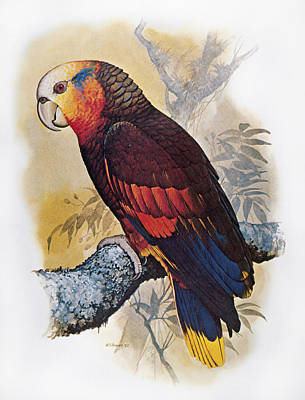 St Vincent Amazon Parrot Art Print by Granger