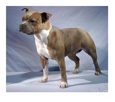 Staffordshire Bull Terrier Digital Art - Staffordshire Bull Terrier - Amstaff 654 by Larry Matthews