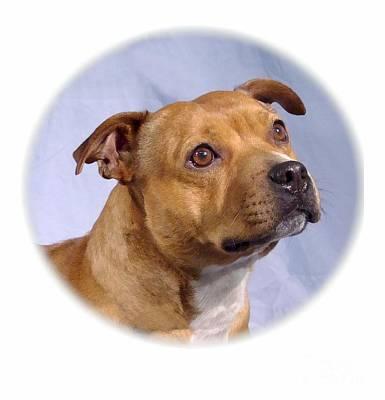 Staffordshire Bull Terrier Digital Art - Staffordshire Bull Terrier - Amstaff 98 by Larry Matthews