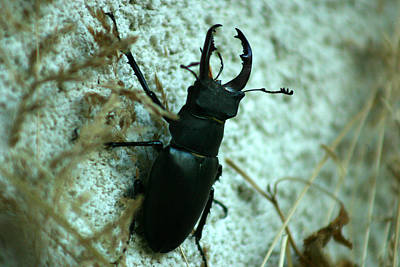 Photograph - Stag Beetle On Wall by Emanuel Tanjala