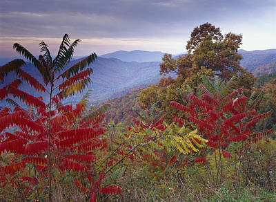 Sumac Tree Photograph - Staghorn Sumac In Autumn Blue Ridge by Tim Fitzharris