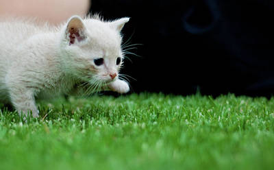 Johannesburg Photograph - Stalking Kitten by Sean Sequeira