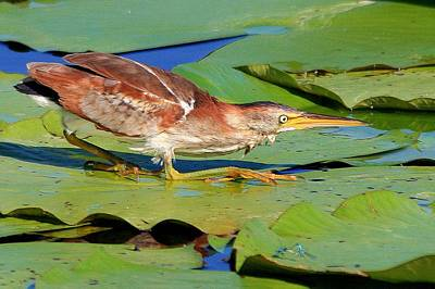 Photograph - Stalking Least Bittern by Ira Runyan