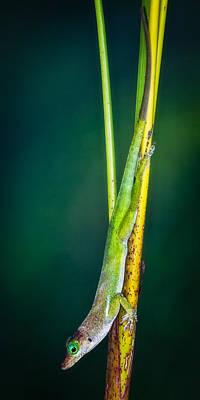 Photograph - Stalking Lizard by Daniel Marcion