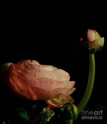 Photograph - Stalking Petals In The Dark by Michael Canning