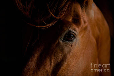 Forelock Photograph - Stallion Eye by Terri Cage