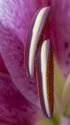 Photograph - Stamens On A Stargazer Lily by Zoe Ferrie