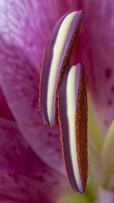 Stamens On A Stargazer Lily Art Print