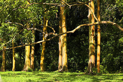 Photograph - Stand Of Rainbow Eucalyptus Trees by Marilyn Hunt