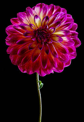 Photograph - Stand Up Dahlia by Jean Noren