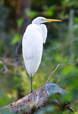 Photograph - Standing Egret by Scott Hansen