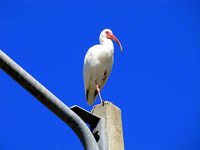 Photograph - Standing Ibis by RobLew Photography