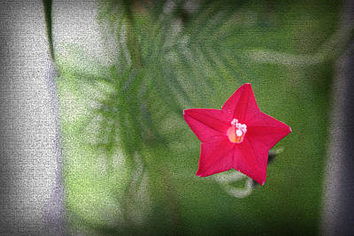 Photograph - Star Flower II by Kelly Hazel