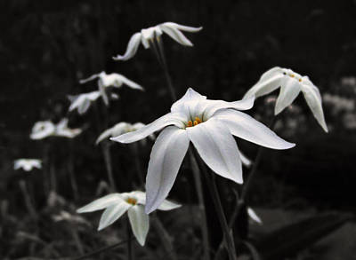Art Print featuring the photograph Star Flowers by Deborah Smith