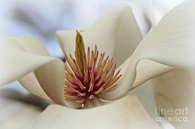 Photograph - Star Magnolia by Benanne Stiens