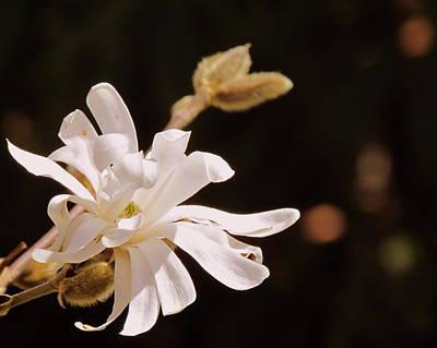 Flower Photograph - Star Magnolia by Eva Kondzialkiewicz