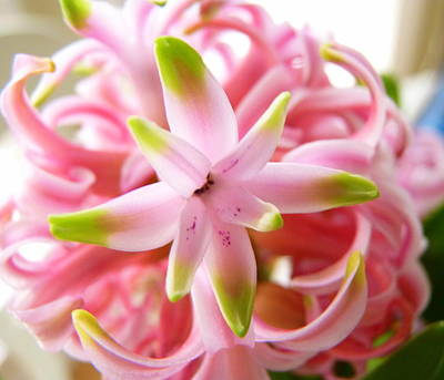 Photograph - Star Of The Show Hyacinth  by Carla Parris