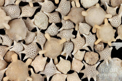Photograph - Star Sand Foraminiferans by Ted Kinsman