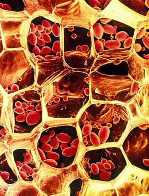 Starch Grains In Potato Cells Art Print by Dr Jeremy Burgess