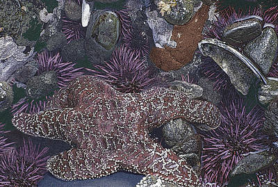 Photograph - Starfish by John Farley