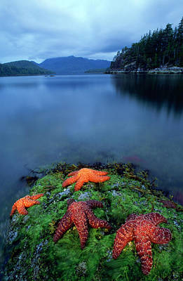 Fish Out Of Water Photograph - Starfish On Moss At Low Tide, Bligh by David Nunuk