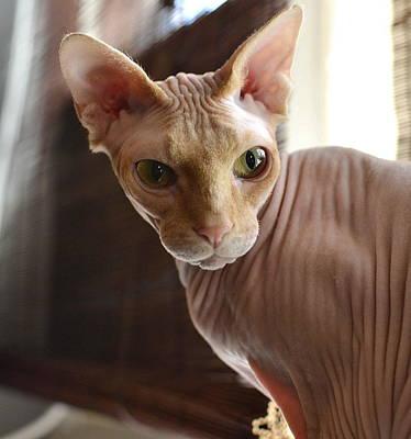 Hairless Cat Photograph - Staring Sphynx by Fraida Gutovich