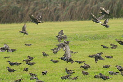 Photograph - Starlings Moving by Christopher Kirby