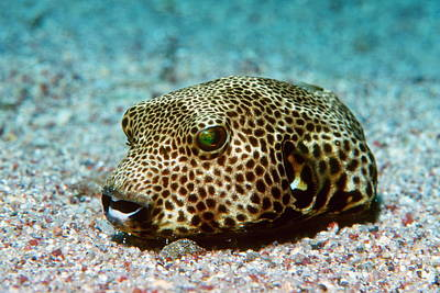 Toxicology Photograph - Starry Pufferfish by Georgette Douwma