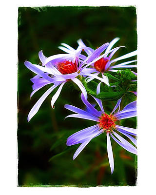 Photograph - Stars Of Spring by Judi Bagwell