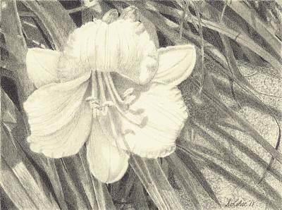 Stella Art Drawing - Stella D'oro by Sue Lohse