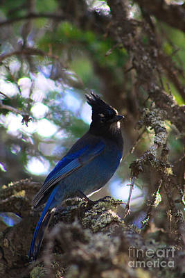Photograph - Stellar Jay by Alyce Taylor