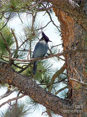 Photograph - Stellar's Jay by Dorrene BrownButterfield