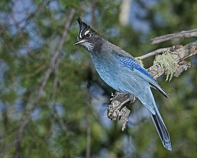 Photograph - Stellars Jay by Gregory Scott