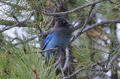 Photograph - Stellar's Jay In Profile by Dorrene BrownButterfield
