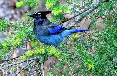 Photograph - Steller Jay by James Steele